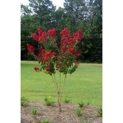 (Liner) Red Crape Myrtle (aka Dynamite Crepe Myrtle)- Showy, Glorious fire-red Flowers, Small Tree with Smooth, Peeling bark. : Garden & Outdoor