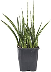 Cylindrical Snake Plant Sansevieria Cylindrica Care Tips