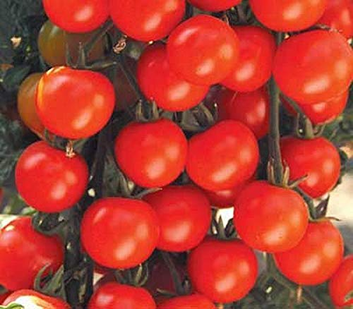 Girl Tomato Sweet Baby - Sweet Baby Girl Tomato Seeds