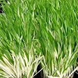 Variegated CAT GRASS~Cat's BEST Treat Seeds x 3 seeds in ALL