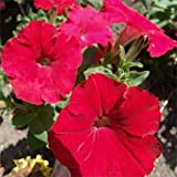 Outsidepride Petunia Grandiflora Red - 250 Seeds