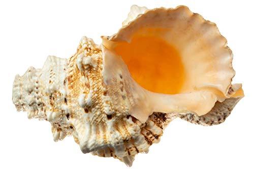 Frog Shell Horn | 1 Frog Shell Horn Sea Shell 9