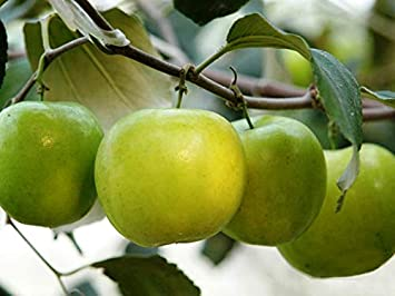Apple Ber Fruit Images