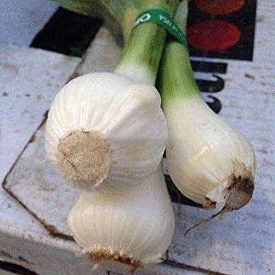 Oguine 100pcs/ Bag Giant Garlic Seeds Garden Organic Vegetable Plant Vegetables : Garden & Outdoor