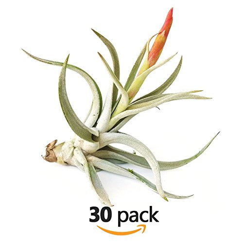The Drunken Gnome AIR PLANTS – HIMARORA – 30 PACK - air purifying flowering tillandsia for terrarium, fairy garden starter kit, home office, indoor outdoor, corporate gift (30 PACK) by TDG Pro