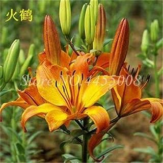 Pinkdose Rara Lily Flore Non Lily Bulbs È Bonsai in Vaso Lily Flower Outdoor Pleasant Fragrance Plant Home & amp; Decorazioni da Giardino 100 Pezzi: 9