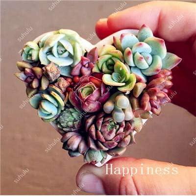 Living Stones Mix Mini Lithops Bonsai Blooming Flower Succulent Cactus Organic Garden Bulk Bonsai for Home Garden 200 Pcs - (Color: 8) : Garden & Outdoor