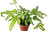 """Pteris Cretica ' - Live Plant - Free Care Guide - 4"""" Pot - Low Light House Plant"""