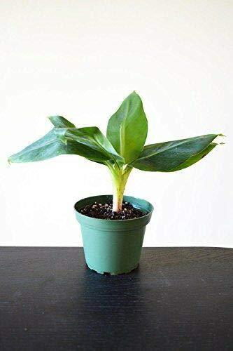 Truly Tiny Tiny Musa Banana Tree 4''Pot Great Fruit Live Plant Garden Home
