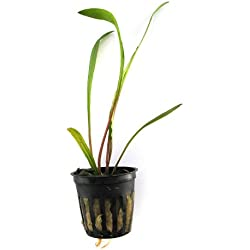 SubstrateSource Cryptocoryne spiralis Live Aquatic Aquarium Plant