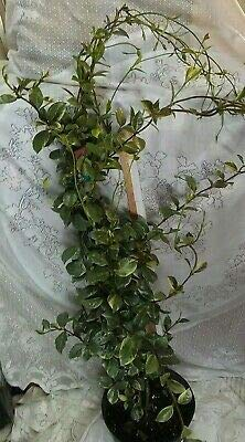 Confederate Star Variegated Jasmine 4 Foot Vine 3 Gallon Roots Size