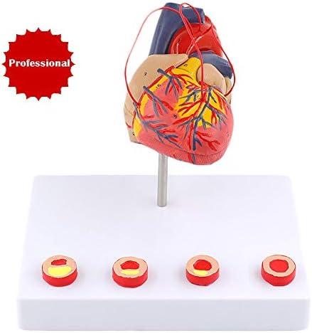 FHUILI Life Size Heart Model - Human Organ Anatomy Model Heart Anatomica Model - Detachable Human Heart Anatomical ModelBase - for Study Display Teaching(E)