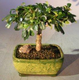 (Bonsai Boy's Flowering Fukien Tea Bonsai Tree - Upright Aged ehretia microphylla)