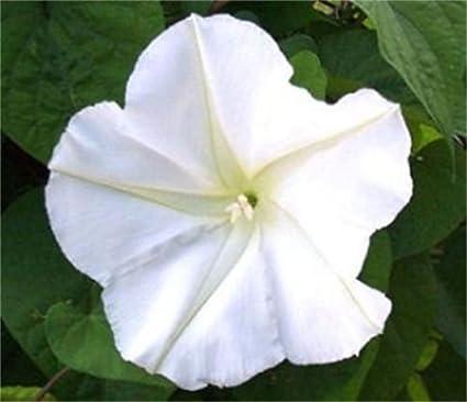 Amazon 50 white moonflower seeds flower garden outdoor 50 white moonflower seeds flower mightylinksfo