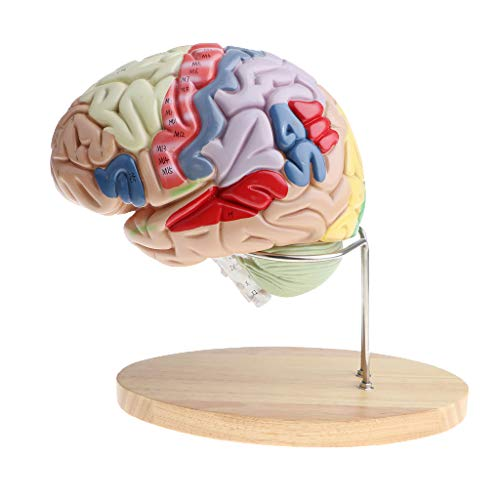 n Functional Colored Brain Model Medical Educational Teaching ()