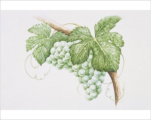 Media Storehouse 10x8 Print of Bunch of Sauvignon Blanc grapes on vine (13560165) Sauvignon Blanc Fume Blanc