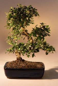 Bonsai Boy's Fukien Tea Flowering Bonsai Tree Curved Trunk - Large ehretia microphylla by Bonsai Boy