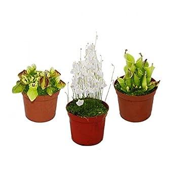 3 Pflanzen Starter Set Fleischfressende Pflanzen