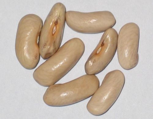Contender Bush Bean 5 pound seeds green pod bush bulk stringless by Unknown (Image #1)
