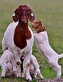 Notebook: Goat kids goats fun spring play sheep