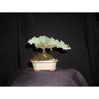 Joebonsai Nursery Direct Upright Juniper Bonsai Tree IV (b-jr4): Garden & Outdoor