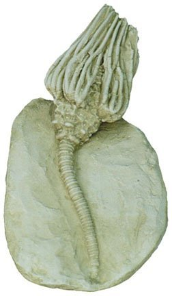 Crinoid Replica