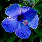 20PCS Hibiscus Rosa-sinensis Perennial Flower Seeds Bonsai Big Blooms Red Green Blue Purple Colorful Garden Home Flower