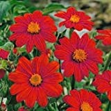 Outsidepride Mexican Sunflower Red - 1000 Seeds