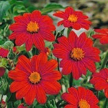 red sun sunflower seeds - 2