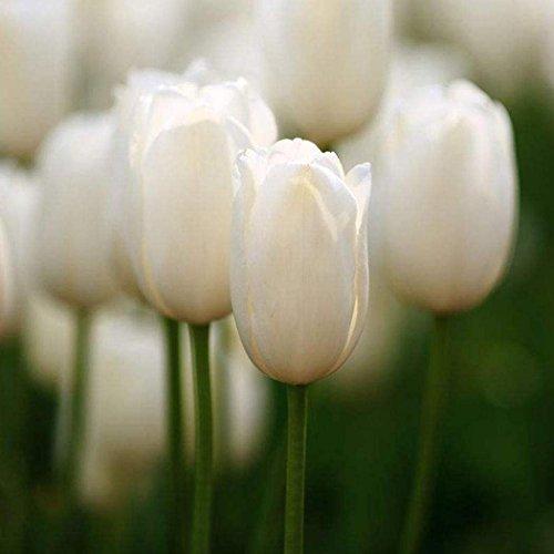 15 White Fancy Tulip Bulbs Perenial Bulbs Fresh Flowers for Garden Planting ()