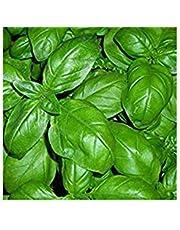 BASILICO GENOVESE 270 SEMI foglia larga PESTO LIGURE Basil pianta erba aromatica