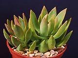 """Sedum nussbaumerianum rare succulent air plant cactus garden exotic aloe 4"""" pot"""