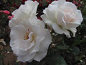 Shop Meeko Margaret Merril Blooms Bareroot Garden Rose Strong Fragranceplant