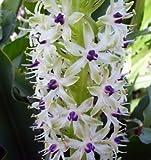 Pretty Flowering Perenials, Pineapple Lily, Eucomis, Meguru, Root, Plant, Great Spectacular Flower Heads
