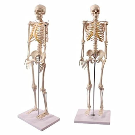 Wellden Product Anatomical Human Skeleton Model, 1/2 Life Size, 85cm ...
