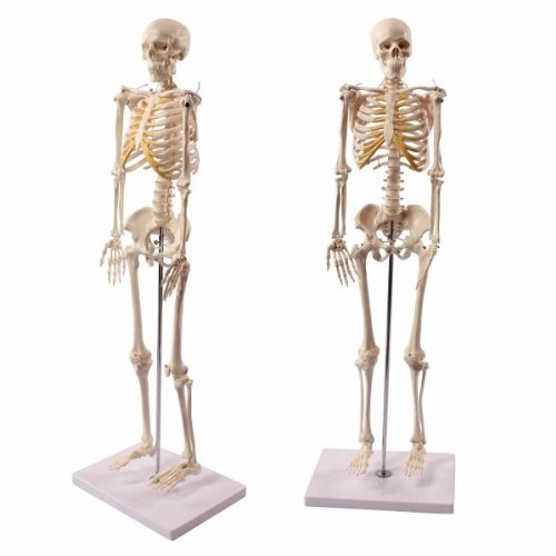 Wellden Product Anatomical Human Skeleton Model 12 Life Size 85cm