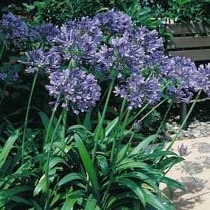 Outsidepride Lily of the Nile Seeds