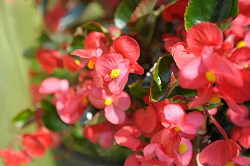 - Ferry-Morse Begonia Landscape Big Rose Green Leaf Flower Plantlings Kit, Pack of 12
