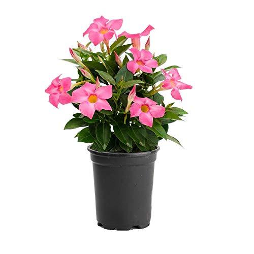 "AMERICAN PLANT EXCHANGE Dipladenia Mandevilla Live Plant, 6"" Pot, Pink"
