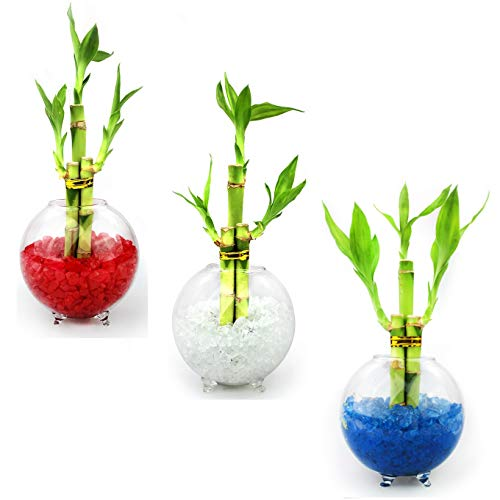 (NW Wholesaler - Set of 3 Live Lucky Bamboo 3 Stalk Arrangements in Glass Orb Vase Terrariums with Colored Glass Pebbles (Red, White, Blue))