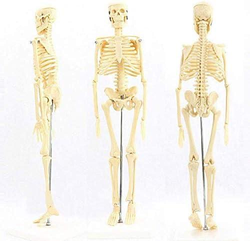 Anatomisch model van menselijk skelet mini 45cm skelet pakket, als een leermodel of leermiddelen art gebruik medische standaard