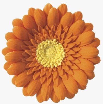 Orange Gerbera Daisy-3in Wedding in Gum Paste Cake Decoration