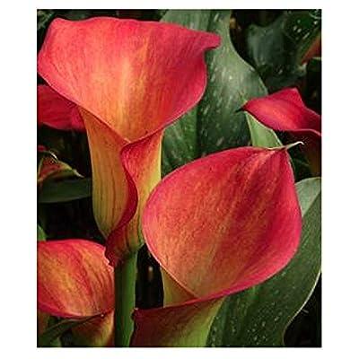 Red Alert Calla Lily Corm : Garden & Outdoor