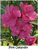 3 SEEDS OF PRETTY DARK PINK OLEANDER FLOWERED TREE BUSH