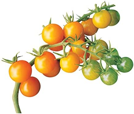 Burpee Gold Tomato Seeds seeds product image