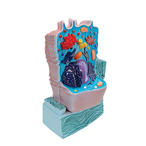3B Scientific R04 Animal Cell Model, 8.3'' x 4.3'' x 12.2'' by 3B Scientific (Image #2)