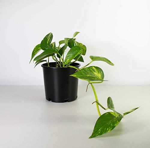 Live House Plant Golden Pothos Devil's Ivy Epipremnum 4