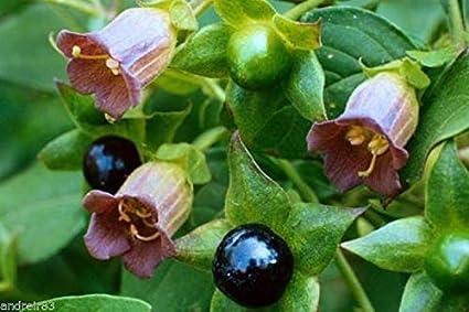 Amazon Com Belladonna Seeds Atropa Black Cherry Rear Plant