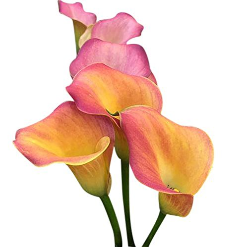 Oriana Calla Lily - Yellow, Orange, and Pink - 1 Large Root