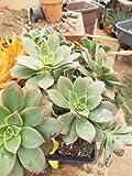 "Aeonium~ ""Kiwi"" (1) Large Rosette 5"" Wide x 6"" Tall BARE ROOT Succulent"